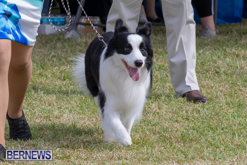 Devils-Isle-All-Breed-Clubs-Bermuda-International-Championship-Dog-Show-October-20-2018-8151