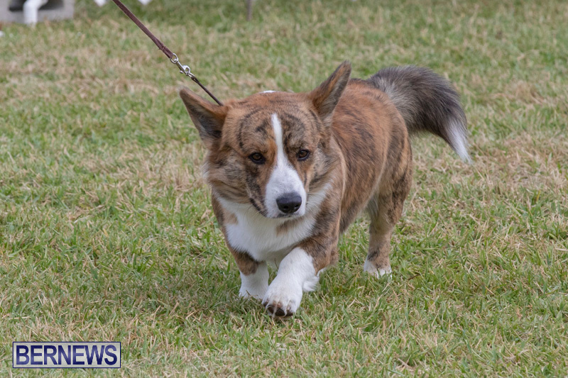 Devils-Isle-All-Breed-Clubs-Bermuda-International-Championship-Dog-Show-October-20-2018-8176