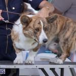Devil's Isle All Breed Club's Bermuda International Championship Dog Show, October 20 2018-8182