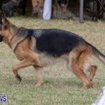 Devil's Isle All Breed Club's Bermuda International Championship Dog Show, October 20 2018-8189
