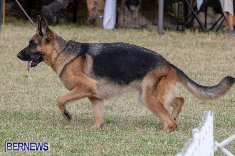 Devils-Isle-All-Breed-Clubs-Bermuda-International-Championship-Dog-Show-October-20-2018-8189