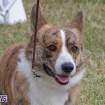 Devil's Isle All Breed Club's Bermuda International Championship Dog Show, October 20 2018-8220