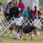 Devil's Isle All Breed Club's Bermuda International Championship Dog Show, October 20 2018-8233