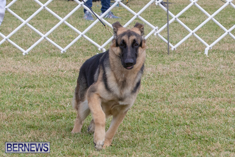 Devils-Isle-All-Breed-Clubs-Bermuda-International-Championship-Dog-Show-October-20-2018-8238