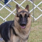 Devil's Isle All Breed Club's Bermuda International Championship Dog Show, October 20 2018-8239