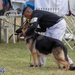 Devil's Isle All Breed Club's Bermuda International Championship Dog Show, October 20 2018-8251