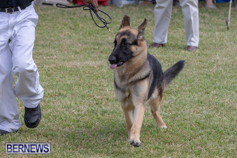 Devils-Isle-All-Breed-Clubs-Bermuda-International-Championship-Dog-Show-October-20-2018-8259