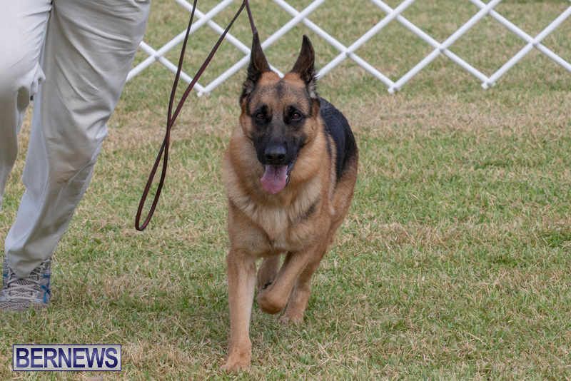 Devils-Isle-All-Breed-Clubs-Bermuda-International-Championship-Dog-Show-October-20-2018-8307