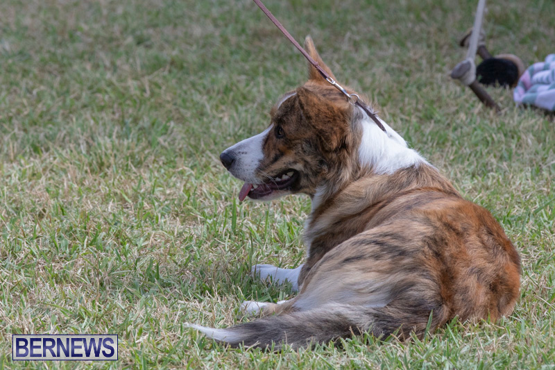 Devils-Isle-All-Breed-Clubs-Bermuda-International-Championship-Dog-Show-October-20-2018-8309