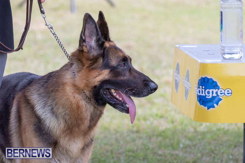 Devils-Isle-All-Breed-Clubs-Bermuda-International-Championship-Dog-Show-October-20-2018-8315