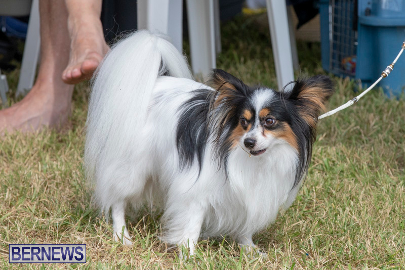 Devils-Isle-All-Breed-Clubs-Bermuda-International-Championship-Dog-Show-October-20-2018-8316