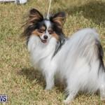 Devil's Isle All Breed Club's Bermuda International Championship Dog Show, October 20 2018-8326