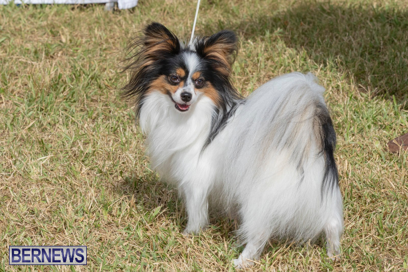 Devils-Isle-All-Breed-Clubs-Bermuda-International-Championship-Dog-Show-October-20-2018-8326