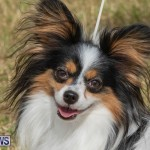 Devil's Isle All Breed Club's Bermuda International Championship Dog Show, October 20 2018-8331