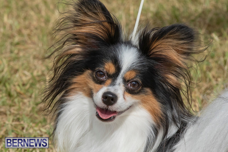 Devils-Isle-All-Breed-Clubs-Bermuda-International-Championship-Dog-Show-October-20-2018-8331