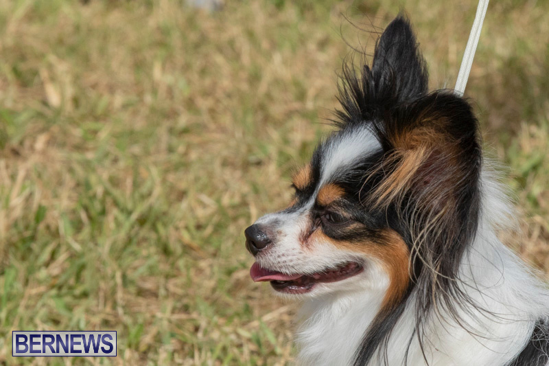 Devils-Isle-All-Breed-Clubs-Bermuda-International-Championship-Dog-Show-October-20-2018-8334