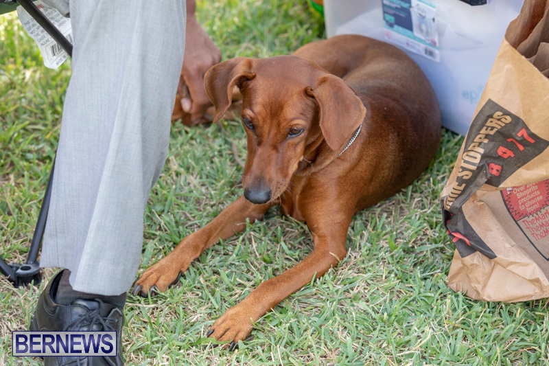 Devils-Isle-All-Breed-Clubs-Bermuda-International-Championship-Dog-Show-October-20-2018-8351