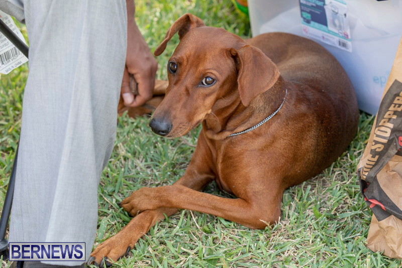 Devils-Isle-All-Breed-Clubs-Bermuda-International-Championship-Dog-Show-October-20-2018-8354