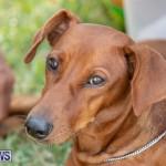 Devil's Isle All Breed Club's Bermuda International Championship Dog Show, October 20 2018-8357