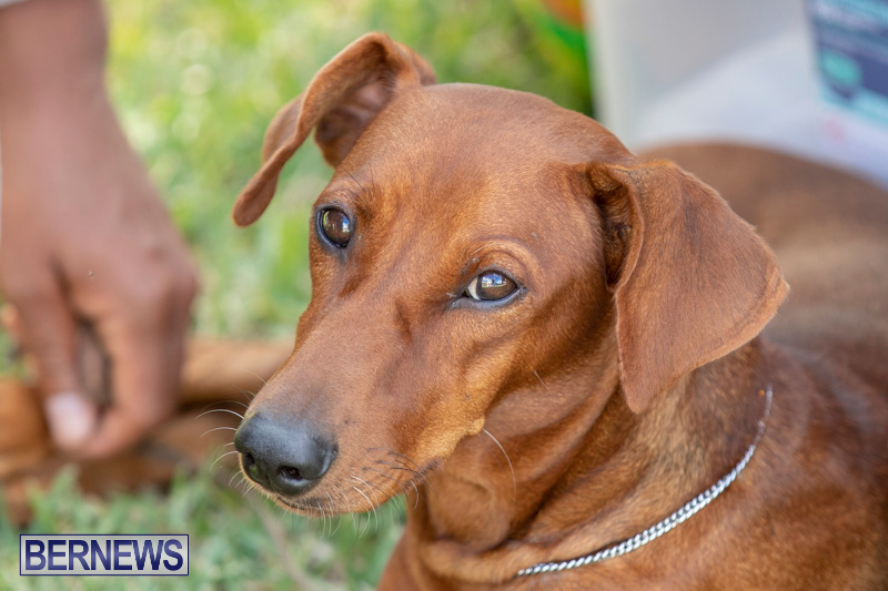 Devils-Isle-All-Breed-Clubs-Bermuda-International-Championship-Dog-Show-October-20-2018-8357