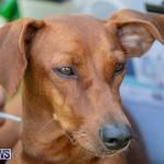 Devil's Isle All Breed Club's Bermuda International Championship Dog Show, October 20 2018-8364