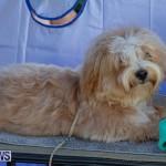 Devil's Isle All Breed Club's Bermuda International Championship Dog Show, October 20 2018-8378