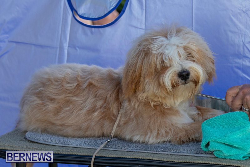 Devils-Isle-All-Breed-Clubs-Bermuda-International-Championship-Dog-Show-October-20-2018-8378