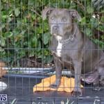Devil's Isle All Breed Club's Bermuda International Championship Dog Show, October 20 2018-8384