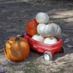 J&J's Pick Your Own Pumpkin Bermuda Oct 12 2018 (25)