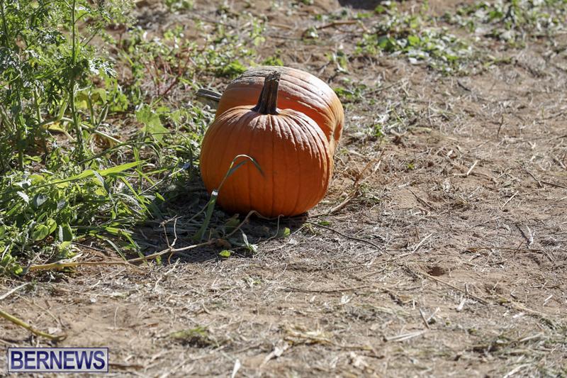 JJs-Pick-Your-Own-Pumpkin-Bermuda-Oct-12-2018-4