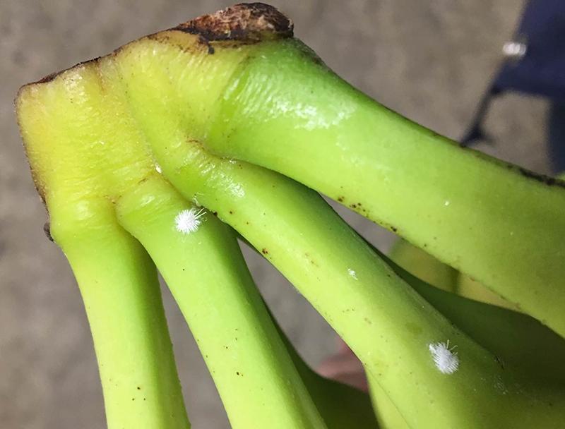 banana Bermuda Nov 14 2018 (1)