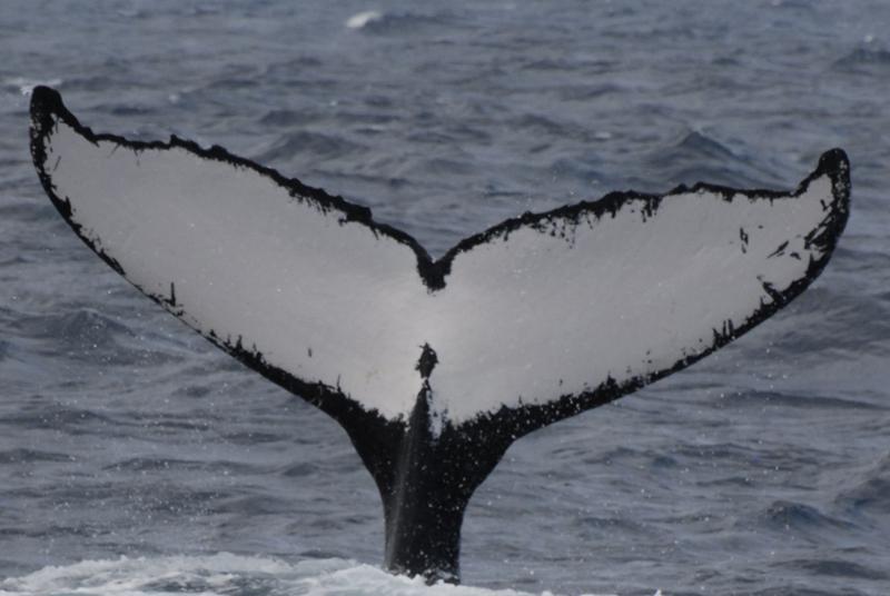 Humpack Whales Bermuda Jan 2019