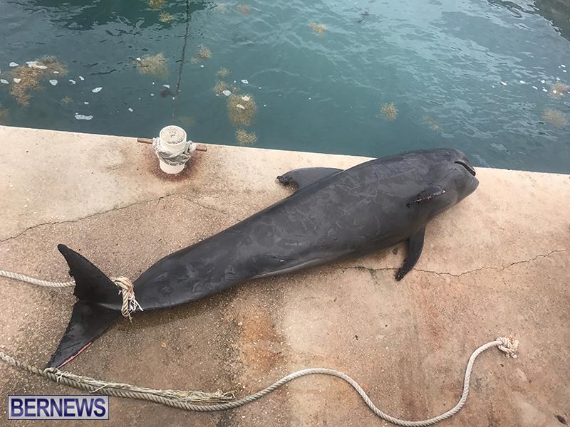 Whale Devonshire Dock Bermuda, January 23 2019 (8)