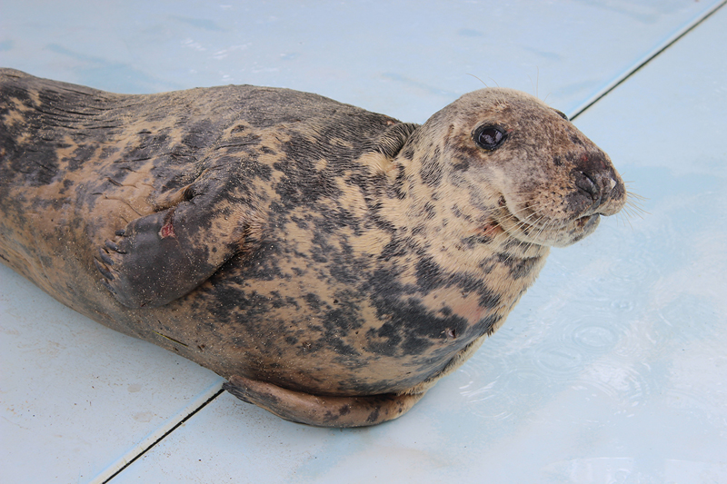 Grey Seal Bermuda March 19 2019 (5)