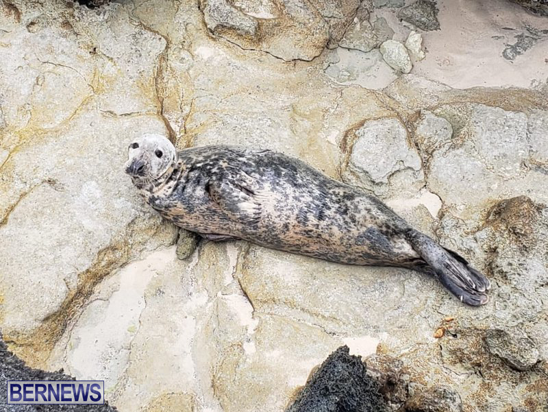 Seal Bermuda March 2019 (2)