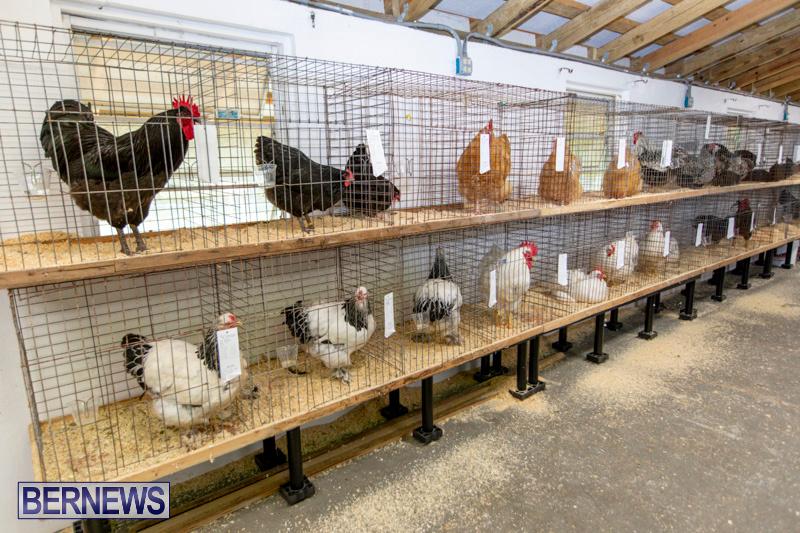 Ag-Show-Poultry-Bermuda-April-10-2019-9903