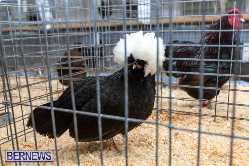Ag-Show-Poultry-Bermuda-April-10-2019-9949