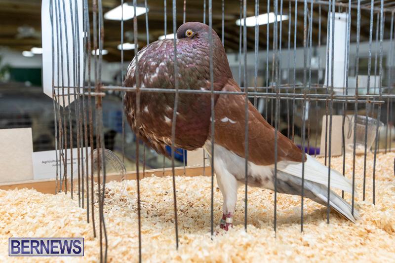 Ag-Show-Poultry-Bermuda-April-10-2019-9957