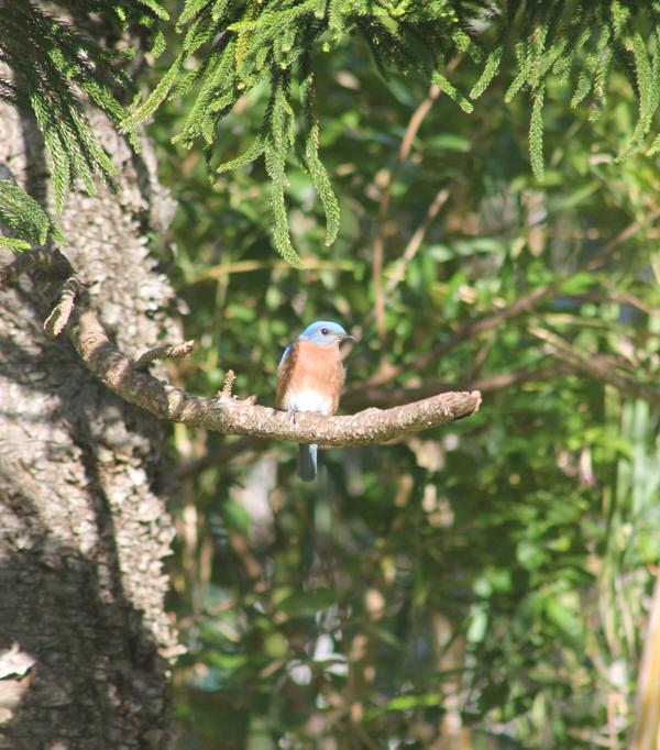 Bluebird Bermuda April 2019 (3)