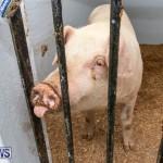 Pigs Ag Show Wednesday Bermuda, April 10 2019-9748