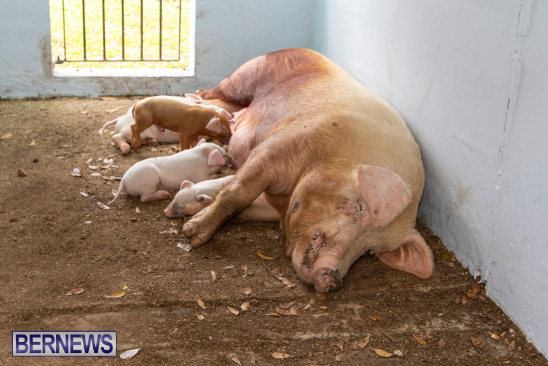 Pigs-Ag-Show-Wednesday-Bermuda-April-10-2019-9777