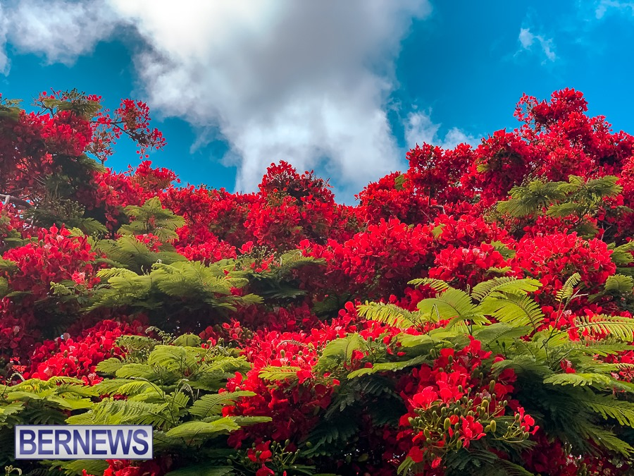 533 The beautiful colours of Bermuda summer Poinciana trees in full bloom and blue skies above