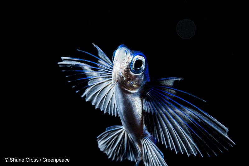 Sargasso Sea Blackwater Flying Fish
