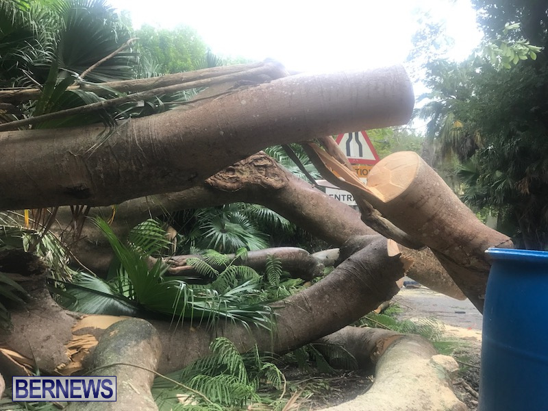 Tree Parsons Lane Bermuda Aug 11 2019 6