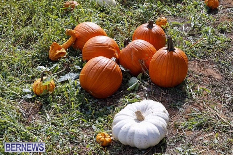 JJ-Produce-Pick-Your-Own-Pumpkin-Bermuda-October-11-2019-16