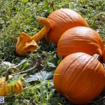 J&J Produce Pick Your Own Pumpkin Bermuda October 11 2019 (17)