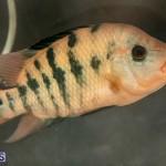 Bermuda Fry-Angle Aquarium Society Annual Tropical Fish Show, November 16 2019-2448
