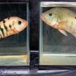Bermuda Fry-Angle Aquarium Society Annual Tropical Fish Show, November 16 2019-2453