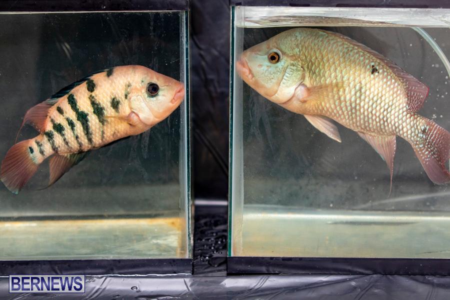 Bermuda-Fry-Angle-Aquarium-Society-Annual-Tropical-Fish-Show-November-16-2019-2453