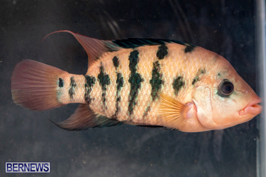 Bermuda-Fry-Angle-Aquarium-Society-Annual-Tropical-Fish-Show-November-16-2019-2454